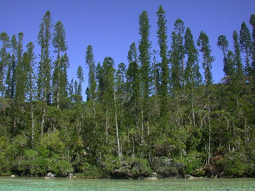 Araucaria columnaris (Araucariaceae) along the edge of the lagoon inlet at Oro, Isle of Pines, New Caledonia