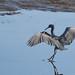Rubino_Little Blue Heron_20150606_San Diego River Channel_Robb Field CA 349-3 by Ryan Rubino