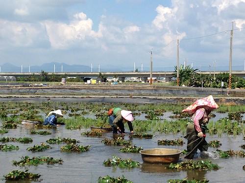有機菱角田裡,幾位女性除了一天的草。攝影:廖靜蕙。