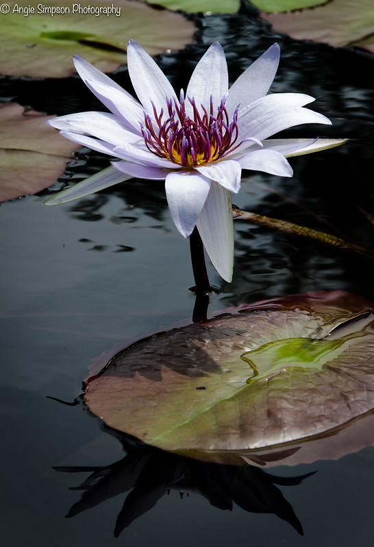 pond lily (1 of 1)