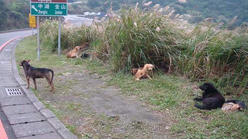 陽明山流浪犬。圖片提供:陽管處。
