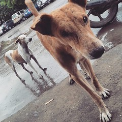 animal sports(0.0), hound(0.0), sports(0.0), lurcher(0.0), greyhound(0.0), animal shelter(0.0), dog sports(1.0), animal(1.0), dog(1.0), galgo espaã±ol(1.0), street dog(1.0), mammal(1.0),