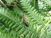 Meadow Plant Bug