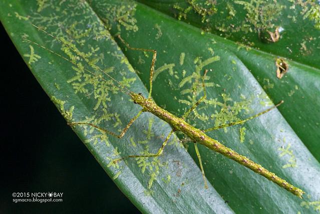 Stick insect (Phasmatodea) - DSC_5755
