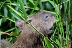 grass(0.0), animal(1.0), rodent(1.0), fauna(1.0), marmot(1.0), capybara(1.0), whiskers(1.0), wildlife(1.0),