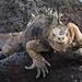 Iguana watching by Kestis