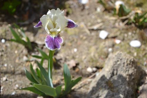 Iris nains horticoles 2012-2015 32622490891_7ed4857f06