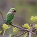 uttampegu posted a photo:	Alexandrine Parakeet in Udaipur
