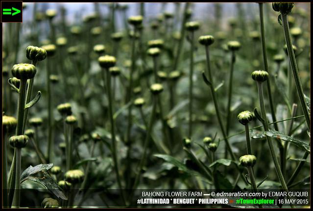 BAHONG FLOWER FARM