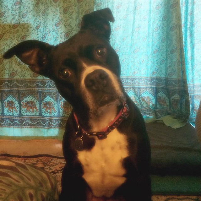 Wants caramel corn. #dogs #pitbulls #pitbullterriers #bullydogs #beggingbeggardogs