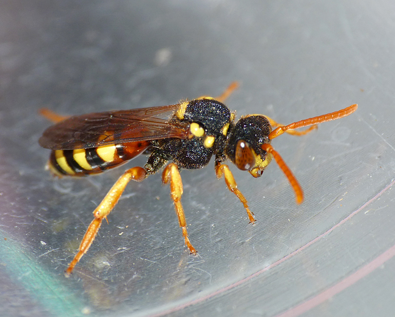 Painted Nomad Bee (Nomada fucata)
