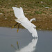 Egret on a mission by Photo Crazy Rob