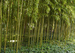 Bamboo beside the pond in the painter Monet's famous garden in Giverny, France