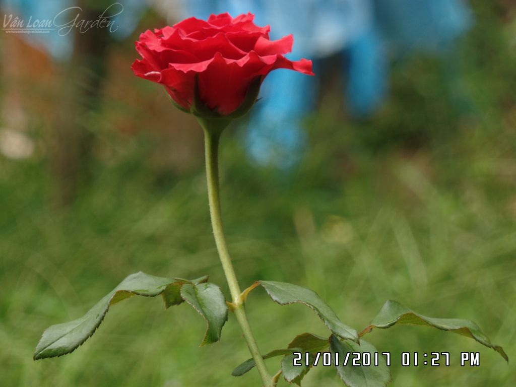 giam canh da lat mua tu shop hoa (10)-vuonhongvanloan.com