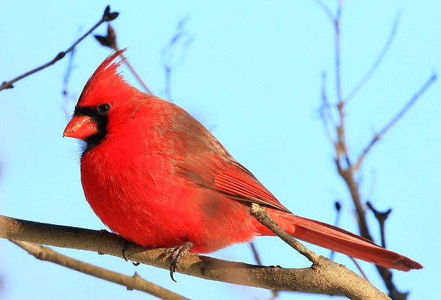 northern cardinal male at Lake Meyer Park IA 854A3948