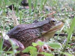 animal, amphibian, toad, frog, fauna, ranidae, bullfrog, wildlife,