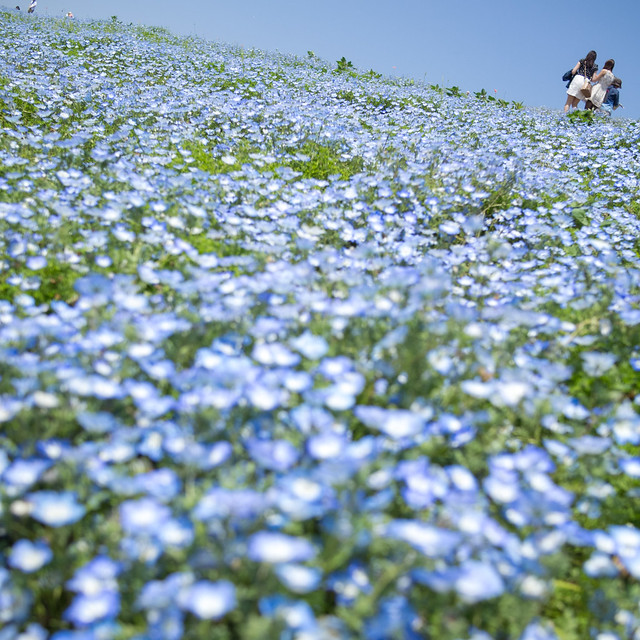 Hitachi Seaside Park 7