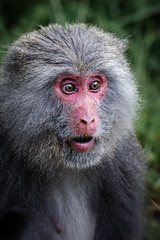 baboon(0.0), western gorilla(0.0), drill(0.0), animal(1.0), monkey(1.0), mammal(1.0), fauna(1.0), japanese macaque(1.0), close-up(1.0), old world monkey(1.0), wildlife(1.0),