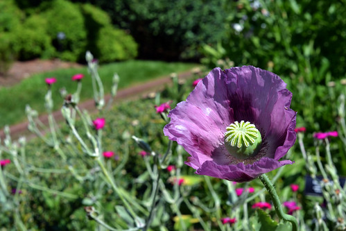 Breadseed Poppy