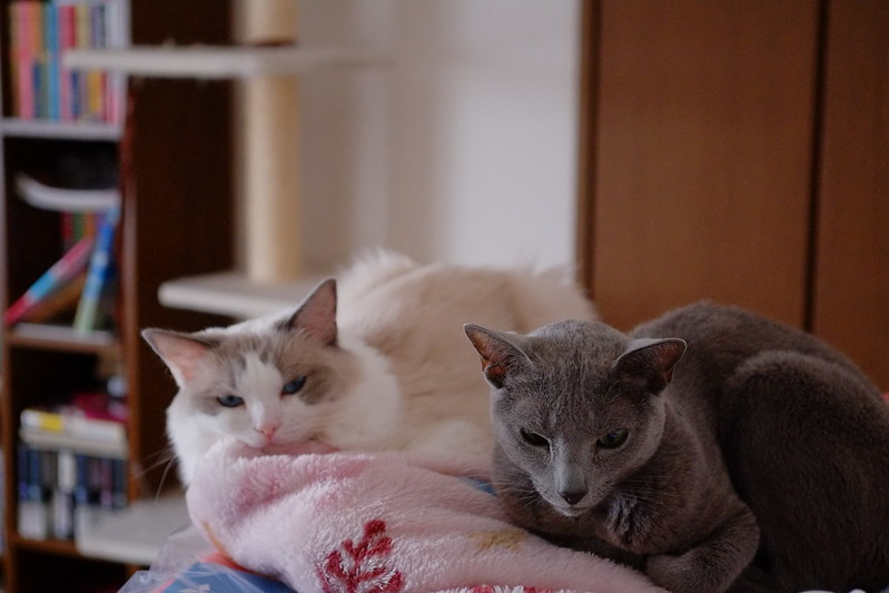 ragdoll & russian blue
