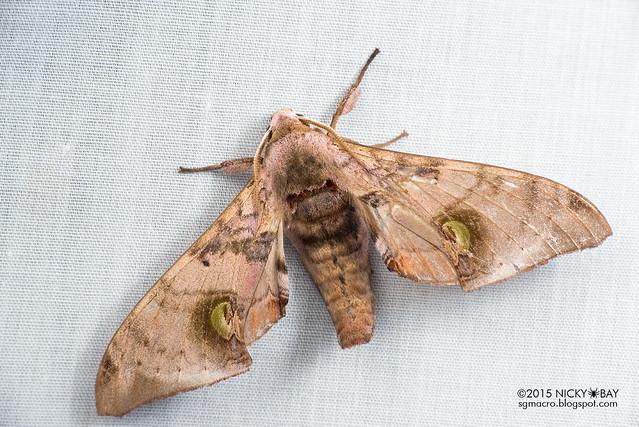 Hawk moth (Daphnusa ocellaris) - DSC_4069
