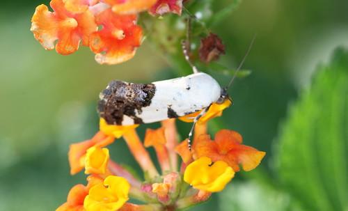insect moth northcarolina lepidoptera richmondcounty butterfliesandmoths acontiinae acontiini ponometia mothsnoctuoideanoctuidaeowletmoths phecolisca hodges9098
