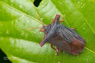 Giant shield bug (Pygoplatys sp.) - DSC_5775