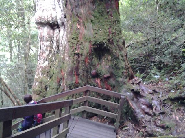 16060拉拉山巨木群