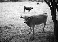 IA cow
