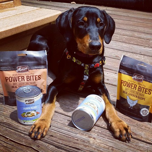 Stay tuned to the blog this week... Penny got to sample some great #puppyfood and training #dogtreats from our friends at @merrickpetcare SPOILER ALERT: she loved it all!  #puppygram #instapuppy #rescuedpuppiesofinstagram #puppylove #dobermanpuppy #adoptd