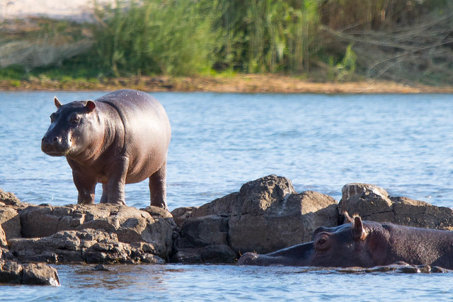 Baby hippo on the rocks