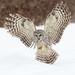 Barred Owl by Gord Sawyer