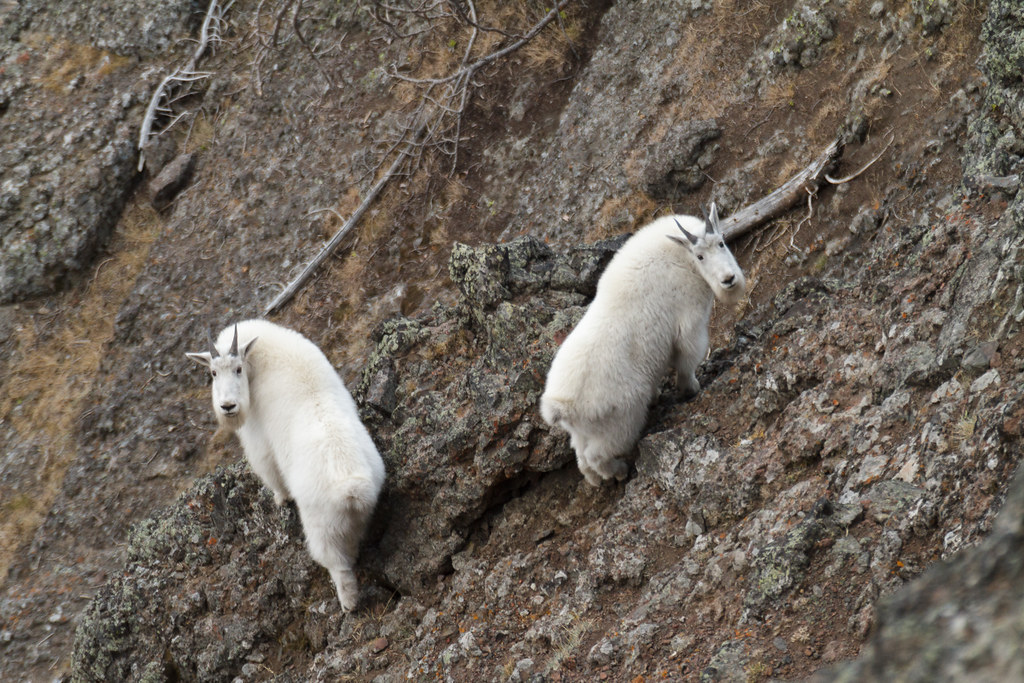 A pair of mountain goats in Yellowstone National Park