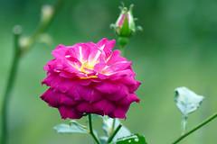 「玫瑰花」 '17