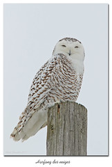 Harfang des neiges / Snowy Owl 153A7731