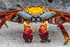 Sally Lightfoot crab in the Galapagos.
