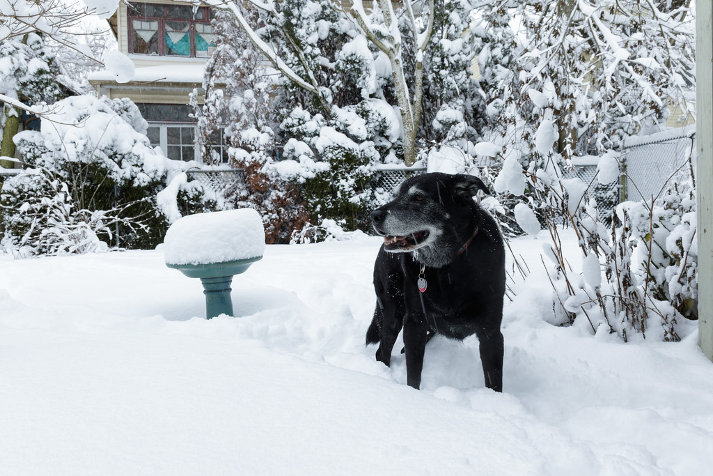 Our dog Ellie stands in deep snow in our backyard