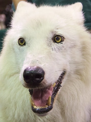 dog breed, animal, dog, canaan dog, pet, maremma sheepdog, white shepherd, canadian eskimo dog, berger blanc suisse, greenland dog, kishu, korean jindo dog, native american indian dog, carnivoran, samoyed,