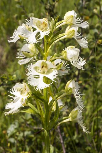 canada orchid flower manitoba platantheraaquilonis westernprairiefringedorchid stuartburn manitobatallgrassprairiepreserve