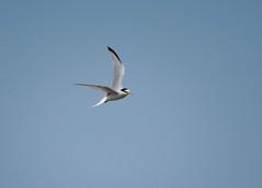 Little Tern - Sternula albifrons