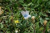 Silbergrüner Bläuling, Argus bleu-nacré (Polyommatus coridon) oberhalb von Plaun da Lej (Oberengadin) (2015-07-26 -14) by Cary Greisch