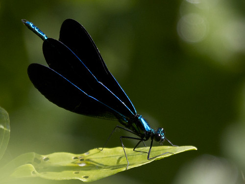 IMG_5178-Ebony Jewelwing