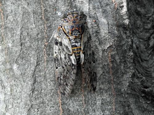 Cicada called 'Niiniizemi' at Jike Hometown Village(Yokohama, Japan)