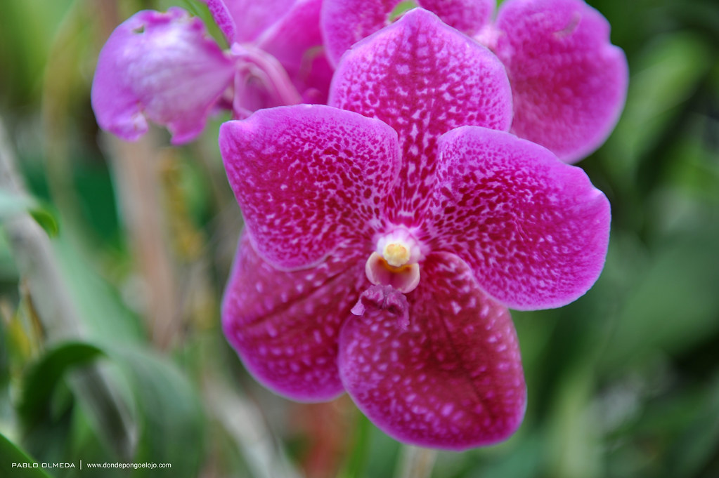 Orquídeas en Kandy