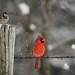 Male Cardinal after a snowstorm - Dec. 11, 2016 by PamelaDbq