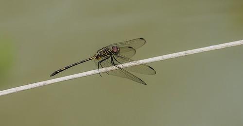 provinciadecoclã© panama provinciadecoclé male brownsetwing dythemissterilis