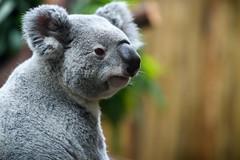 Koala Right Profile
