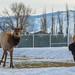 Elk Tree Antlers