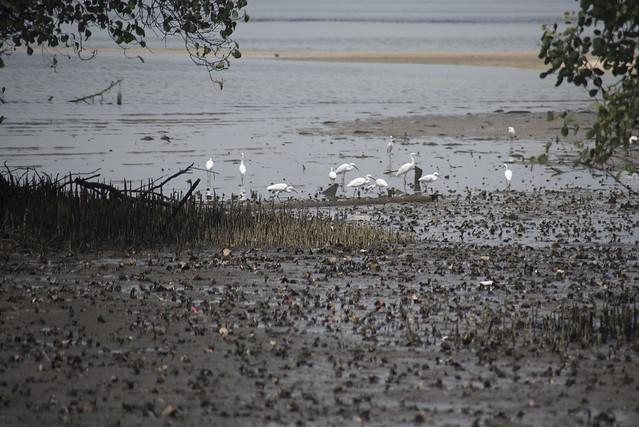 Little Egret (Egretta garzetta) at Seletar mudflats