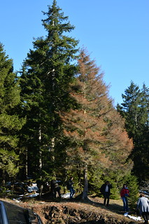 Picea orientalis killed by Dendroctonus micans